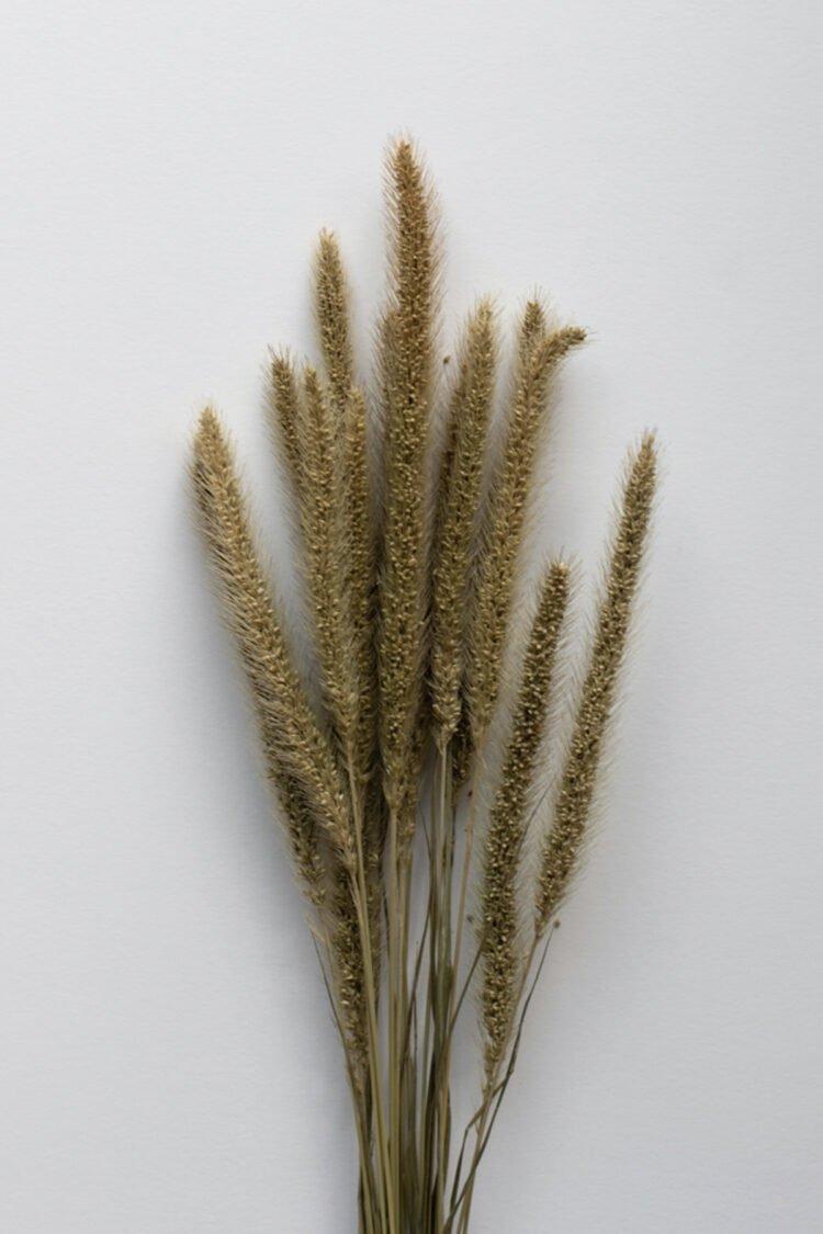 Trockenblumen, Setaria